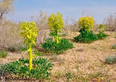 Растение асафетида